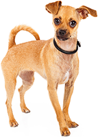 Stock photo of Chihuahua