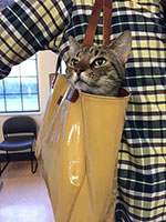 Photo of cat carried in tote-bag